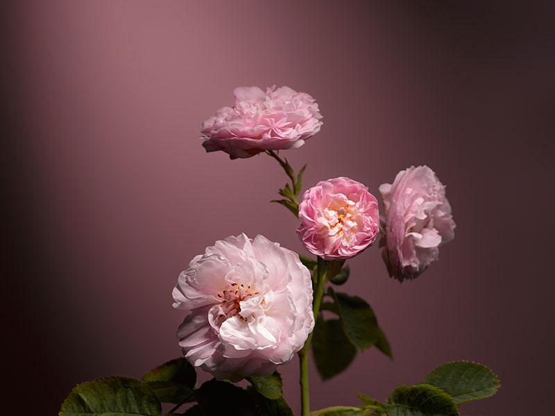 drhauschka_rose
